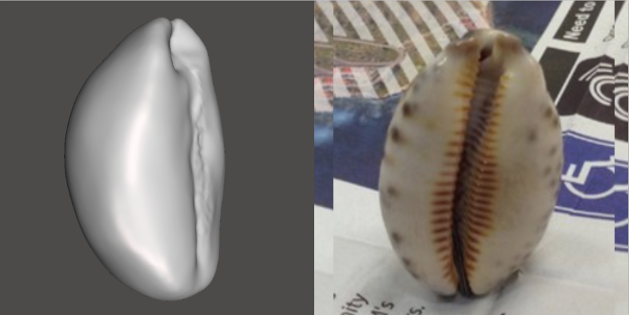 Photo showing 3d model of Chestnut Cowrie