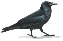 Common Raven Image adapted from Audubon.org bird guide