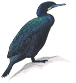Image of Cormorant adapted from Audubon.org bird guide