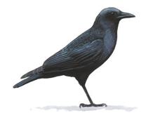 Crow Image adapted from Audubon.org bird guide
