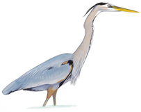 Great Blue Heron Image adapted from Audubon.org bird guide