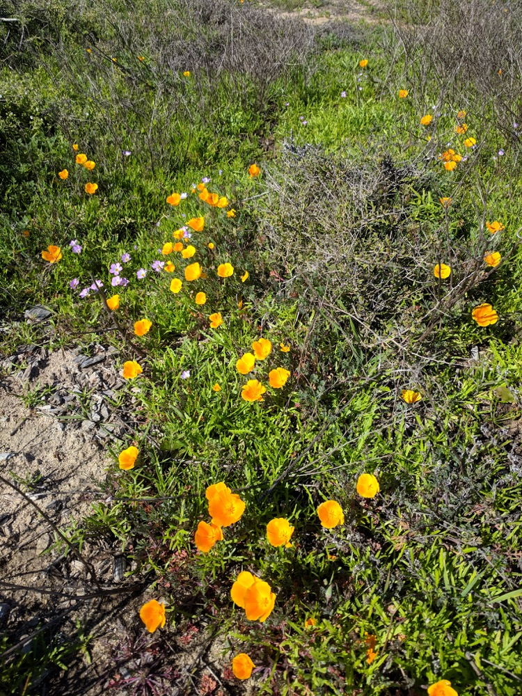 A view of the terrain next to the Coastal Trail at Cabrillo National Monument. Beautiful flowers dominate the shot: