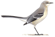 Mocking Bird Image adapted from Audubon.org bird guide