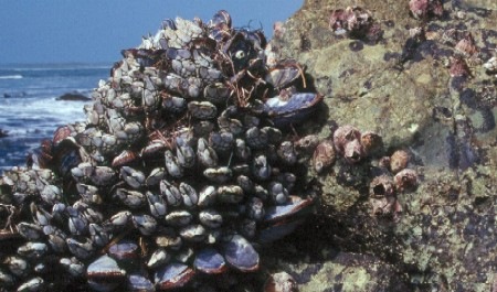 Mussels Cabrillo National Monument U S National Park
