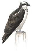 Osprey  Image adapted from Audubon.org bird guide
