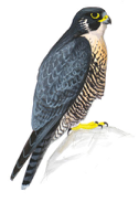 Peregrine Falcon Image adapted from Audubon.org bird guide