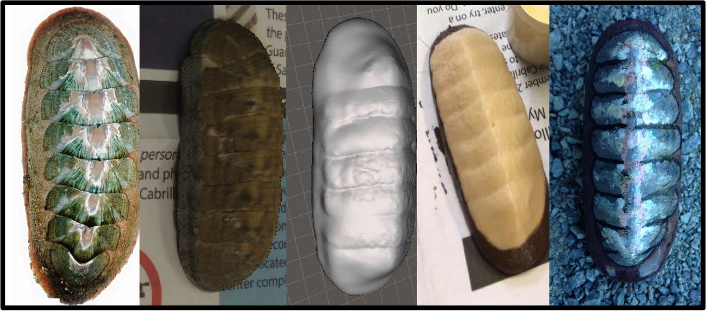 Photo showing 3d models of chitons