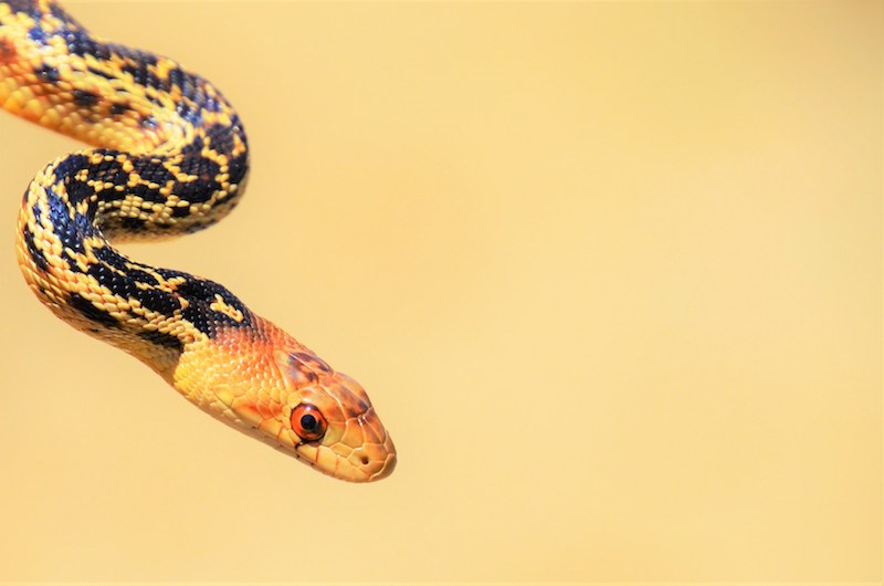 San Diego Gopher Snake