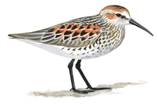 Sandpiper Image adapted from Audubon.org bird guide