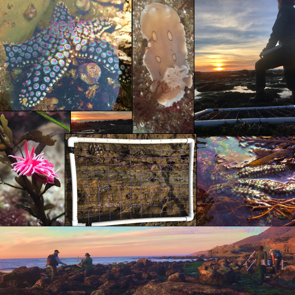 Collage of photos from Tidepool Monitoring at Cabrillo