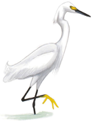 Snowy Egret Image adapted from Audubon.org bird guide