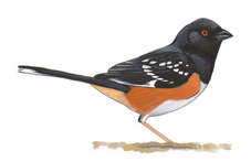 Spotted Towhee Image adapted from Audubon.org bird guide