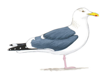 Western Gull Image adapted from Audubon.org bird guide