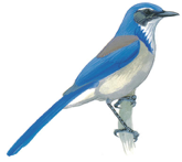 Western Scrub-Jay Image adapted from Audubon.org bird guide