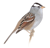 White-Crowned Sparrow Image adapted from Audubon.org bird guide