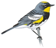 Image adapted from Audubon.org bird guide