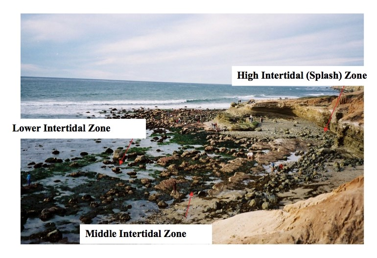 A photo of a low tide with the high middle and low intertidal zones labeled