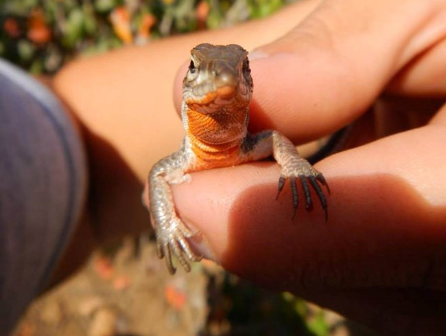 Orange Throated Whiptail Lizard