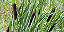 Typha latifolia (common cattail)