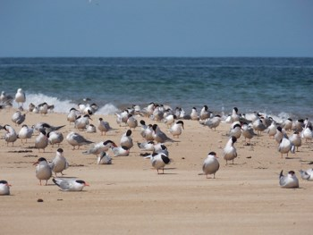 Common Terns and Roseate Terns