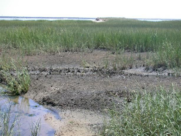 Salt marsh vegetation loss near Great Island, Wellfleet