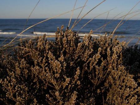 Plants - Cape Cod National Seas (U.S. National Park Service) on