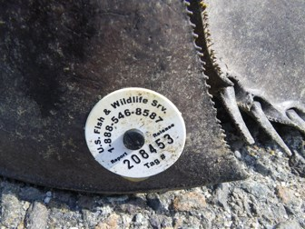 horseshoe crab tag