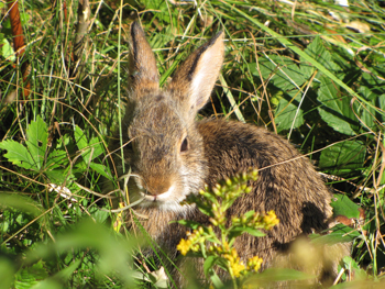 A small rabbit sits in a low grassy field.