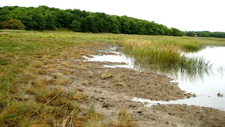 high marsh loss from seaward edge