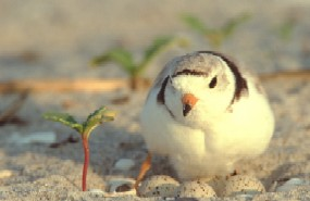 Piping plover incubating a nest