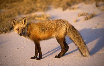 red fox on beach