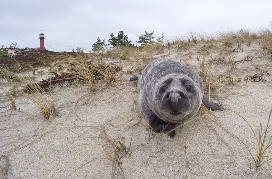 A grey seal pup looks directly at you while lounging on its belly on the sand in front of a lighthouse.