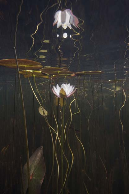 Water Lily Study No 20