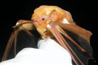 A small furry brown bat sits in a white-gloved hand.
