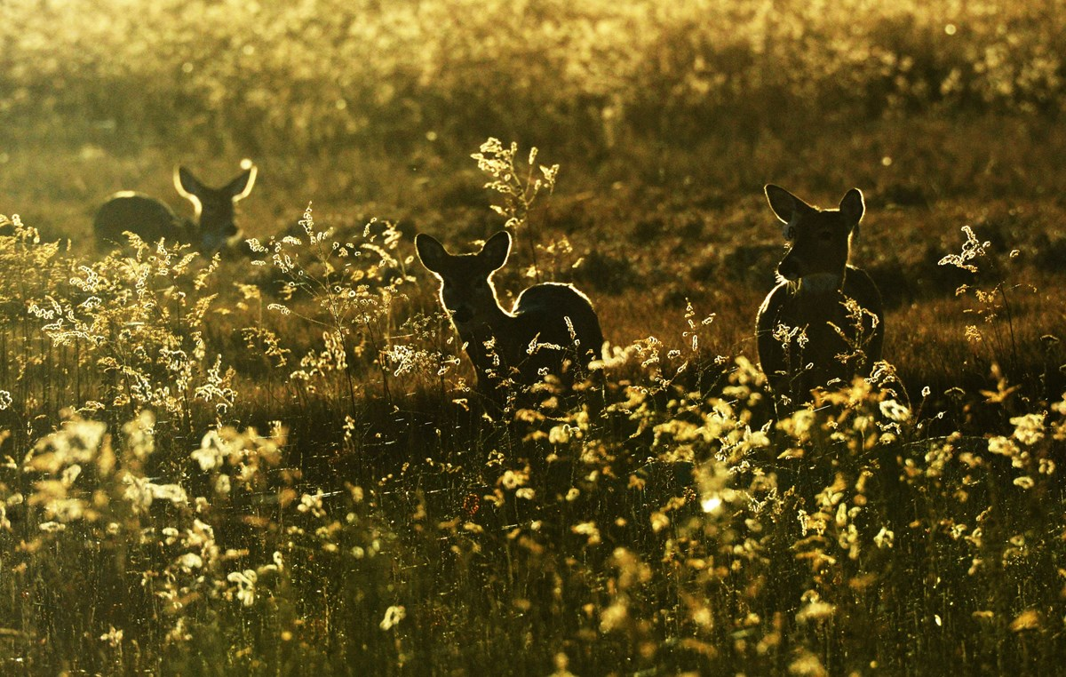 Silhouette of deer walking among golden flowers.