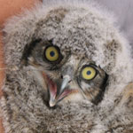 Great Horned Owls often nest over the Casa Grande