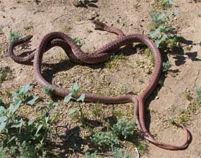 A pair of coachwhip snakes.