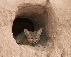 A Kit fox resting in a wall of the Casa Grande.