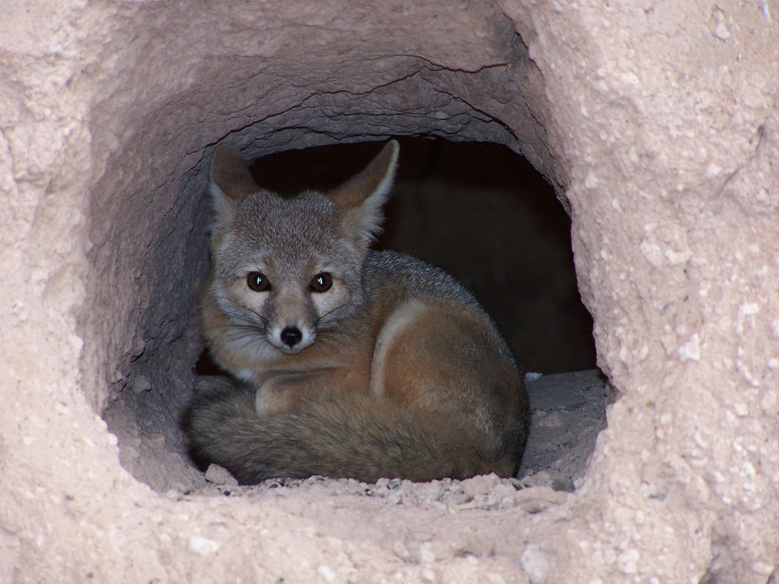 fox curled up in hole that is part of the Great House