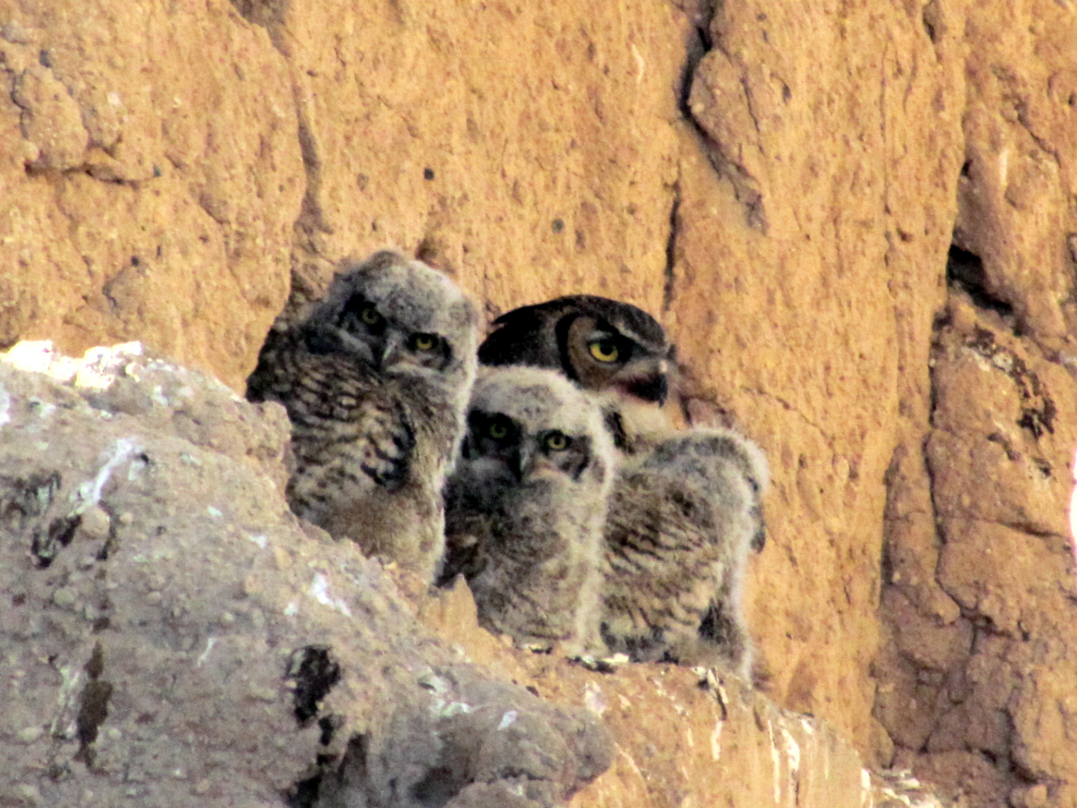 Great Horned Owl mother and owlets Casa Grande Ruins National Monument Coolidge AZ