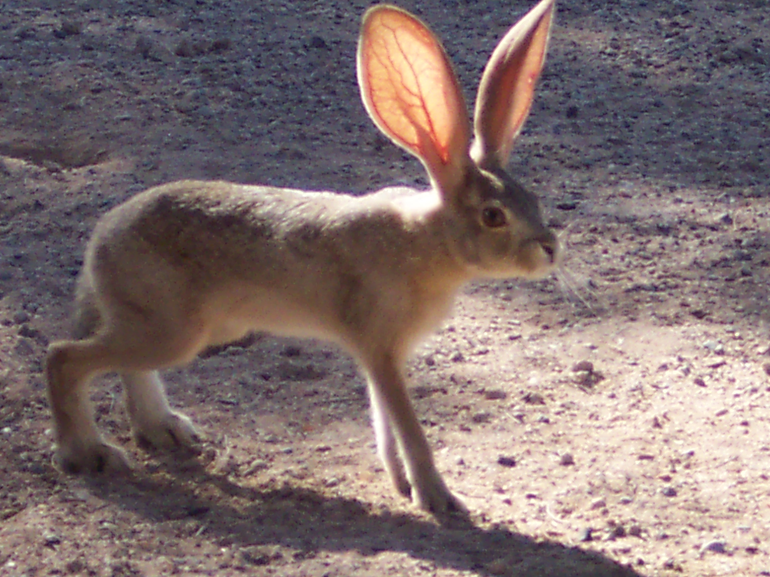 Hare with ears up and standing on 4 legs