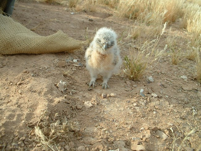 baby burrowing owl, all fluff no feathers