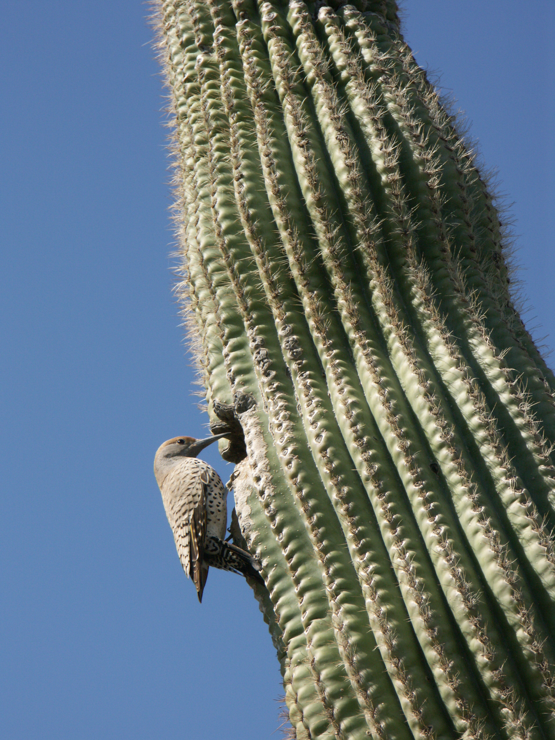 Northern flicker on side of saguaro cactus