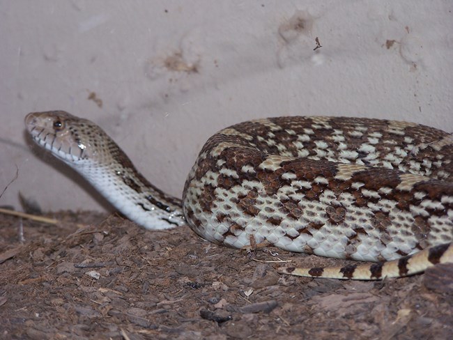 One of the resident park snakes