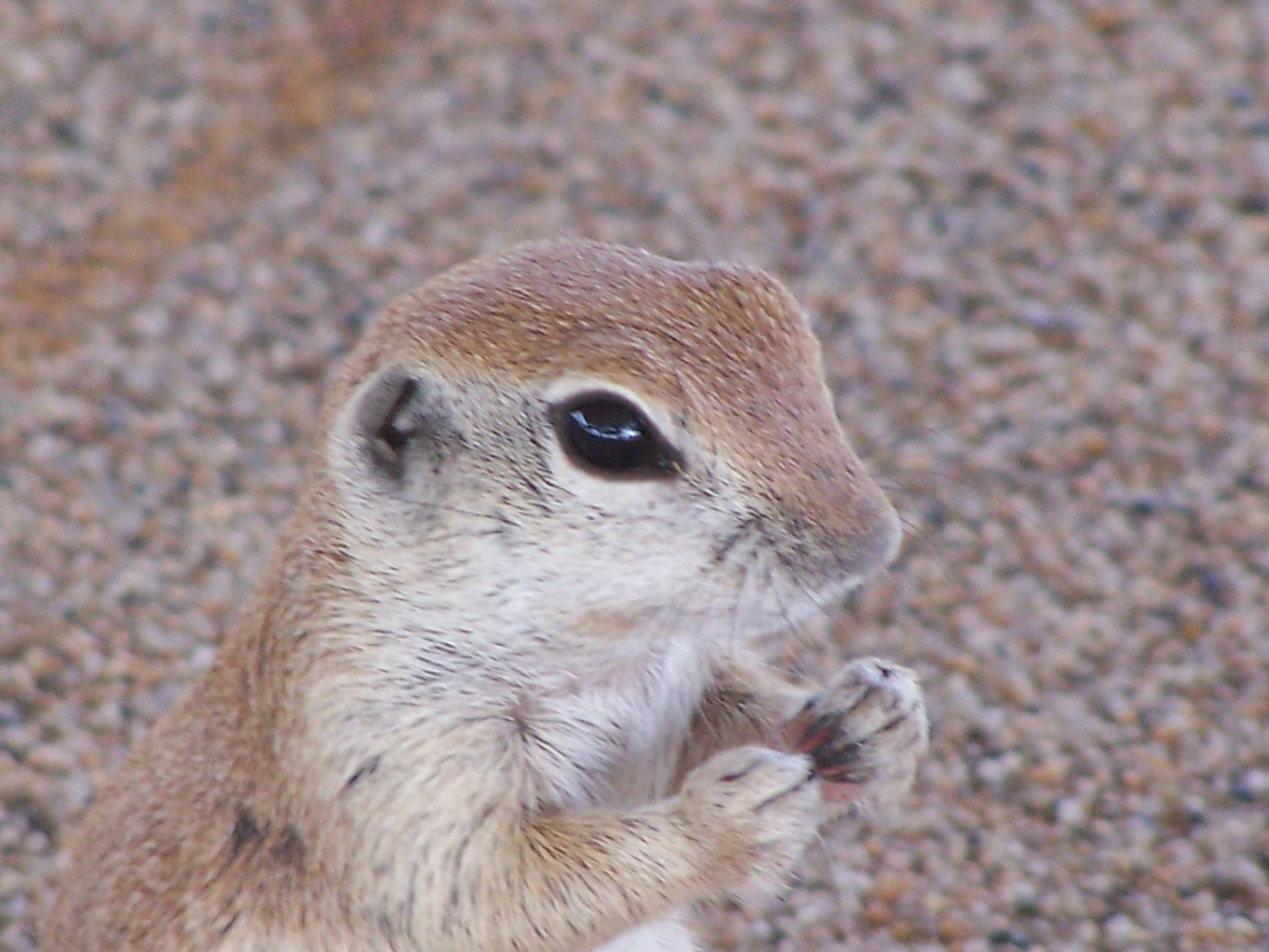 Close up of a round tail ground squirrel showing tiny ears, big eyes, and clawed hands