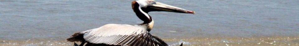 Brown Pelican taking off.
