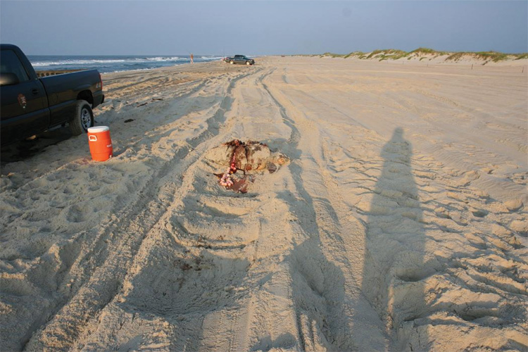 A dead sea turtle on an Ocracoke Island beach.
