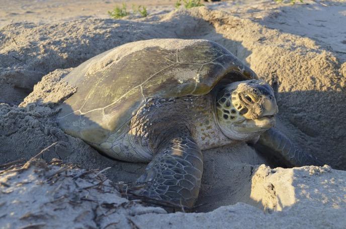 sea turtles cape hatteras national seashore us