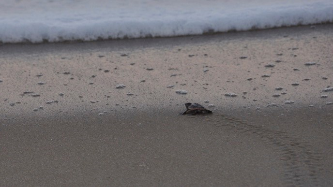Baby sea turtle crawling across the sandy beach toward sea foam and the ocean at dusk.