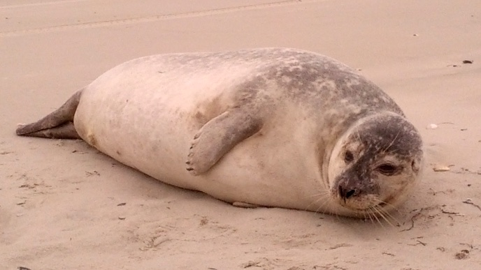 Seal hauled up on the beach on Ocracoke Island